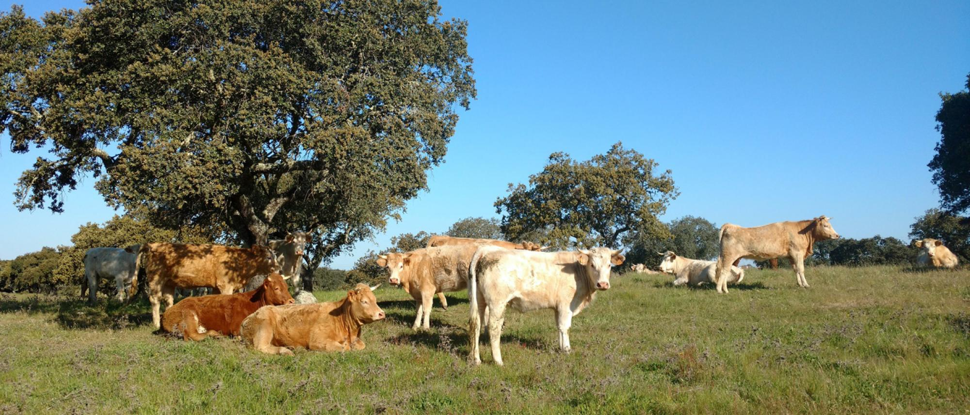 """Holm oak """"montado"""" with grazing cows"""
